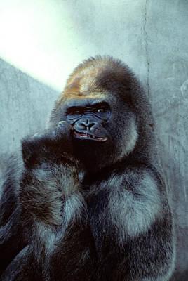 Ape Photograph - Portrait Of Male Gorilla Gorilla Gorilla by Vintage Images