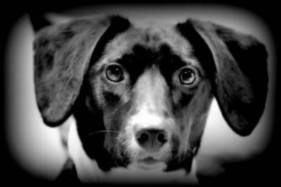 Labrador Retriever Digital Art - Portrait Of Man's Best Friend II by Aurelio Zucco