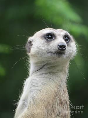 Animals Photograph - Portrait Of Meerkat by Zina Stromberg