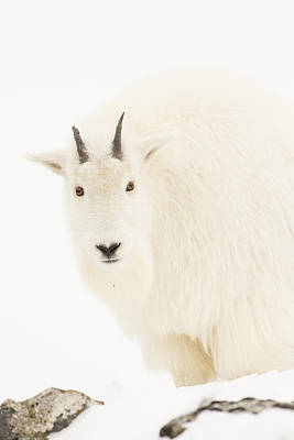 Portrait Of  Mountain Goat Kid Print by Tim Grams