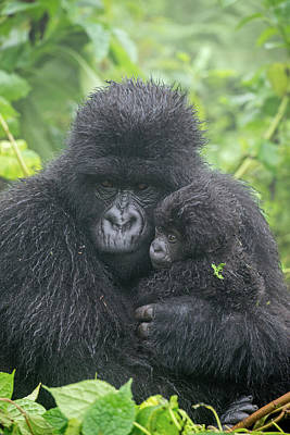 Photograph - Portrait Of Mountain Gorilla, Gorilla by Tom Murphy