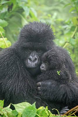 Portrait Of Mountain Gorilla, Gorilla Art Print by Tom Murphy