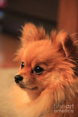 Photograph - Portrait Of Pixie The Mini Pomeranian by Jennifer E Doll