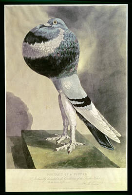 Crt Wall Art - Photograph - Portrait Of  Pouter Pigeon Coloured Engraving by D. Wolsenholme