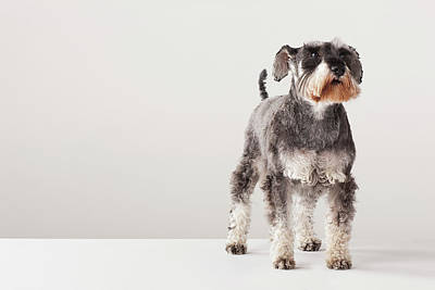 Photograph - Portrait Of Schnauzer by Compassionate Eye Foundation/david Leahy