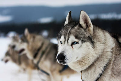 Siberian Husky Photograph - Portrait Of Siberian Husky Sled Dogs by Adam Kokot