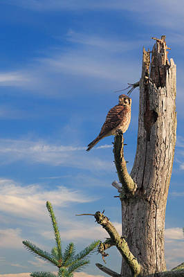 Hawk Photograph - Portrait Of The American Kestrel by Bill Wakeley