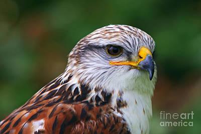 Photograph - Portrait Of The Ferruginous Hawk by Nick  Biemans