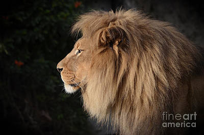 Photograph - Portrait Of The King Of The Jungle  by Jim Fitzpatrick