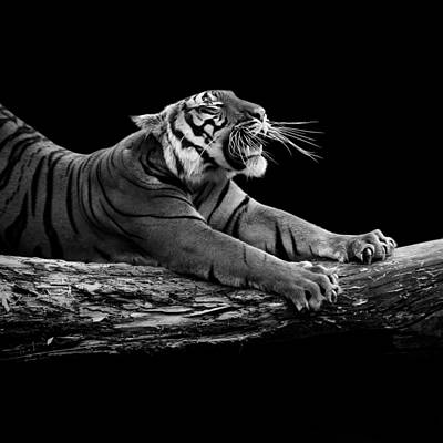Contrast Photograph - Portrait Of Tiger In Black And White by Lukas Holas