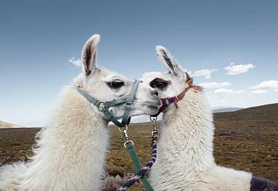 Llama Photograph - Portrait Of Two Llamas by Ryan Heffernan