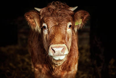Portrait Of Young Cow Art Print by T-lorien