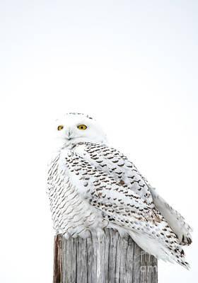 Owl Photograph - Portrait Style Snowy by Cheryl Baxter