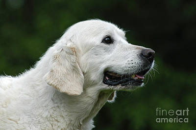 Photograph - Portrait White Golden Retriever Dog by Dog Photos