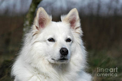 Photograph - Portrait White Samoyed Dog by Dog Photos