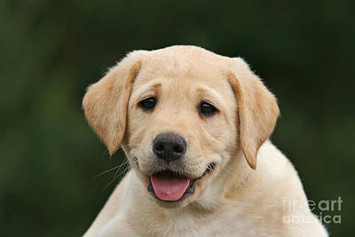 Photograph - Portrait Yellow Labrador Retriever Puppy by Dog Photos