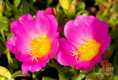 Portulaca Flower Art Print by Millard H. Sharp