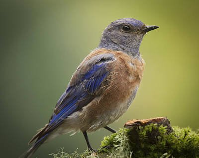 Photograph - Posing Bluebird by Jean Noren