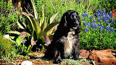 Photograph - Sprocker Posing For A Portrait by Kristina Deane