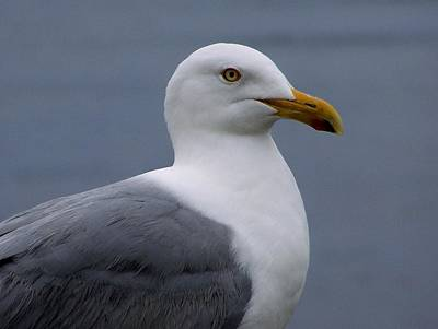 Photograph - Posing Gull by Gene Cyr