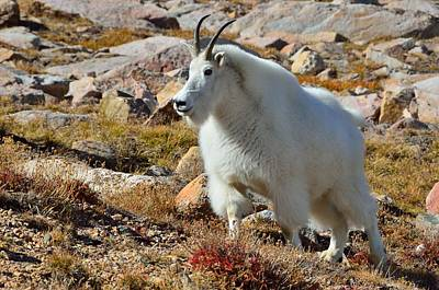 Photograph - Posing Mountain Goat by Tranquil Light  Photography