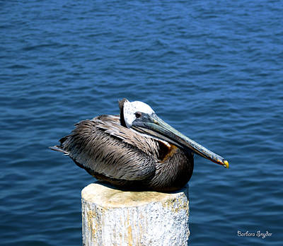 Photograph - Posing Pelican At Stearns Wharf 2 by Barbara Snyder