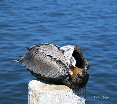 Photograph - Posing Pelican At Stearns Wharf 3 by Barbara Snyder