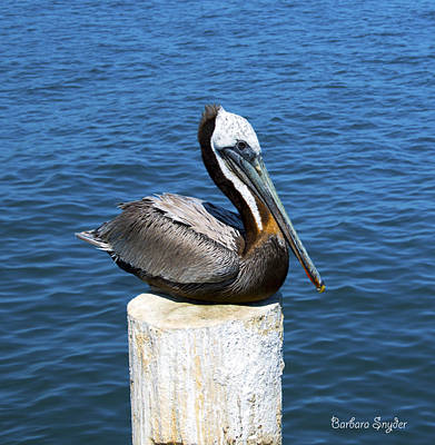 Photograph - Posing Pelican At Stearns Wharf  by Barbara Snyder