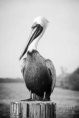 Photograph - Posing Pelican - Black And White by Carol Groenen