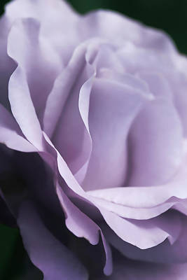 Photograph - Posing Purple Rose Flower by Jennie Marie Schell