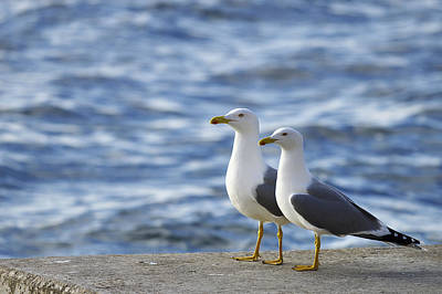 Posing Seagulls Art Print