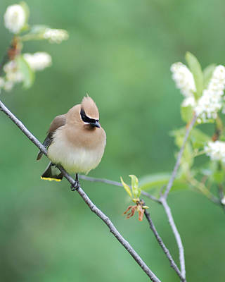 Photograph - Possing Cedar Waxwing by Jan Piet