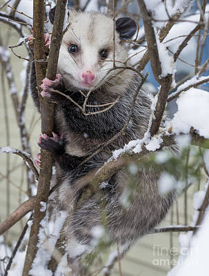 Wisconsin Photograph - Possum by Steven Ralser