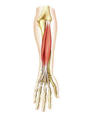 Of Hands Photograph - Posterior Muscles Of Forearm by Asklepios Medical Atlas