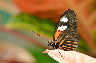 Impressionist Landscapes - Postman Butterfly by Dean Pennala