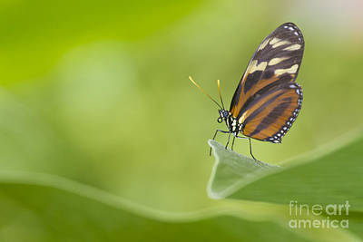 Art Print featuring the photograph Postman On A Leaf by Bryan Keil