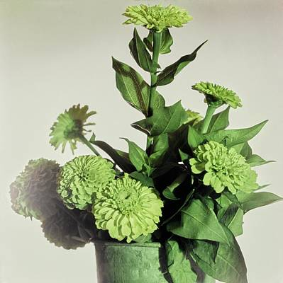 Photograph - Pot Of Green Zinnia by Horst P. Horst