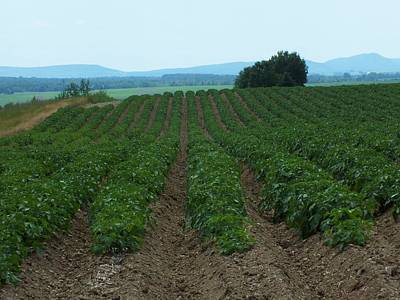 Photograph - Potato Field In Summer by Gene Cyr