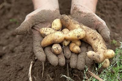 Potato Photograph - Potato Harvest by Jim West