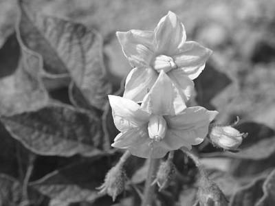 Photograph - Potato Plant Blooms by Gene Cyr
