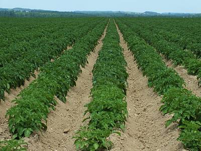 Photograph - Potato Rows by Gene Cyr