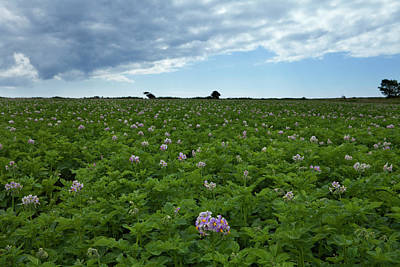 Potatoe Field At Ardmore, County Art Print by Panoramic Images