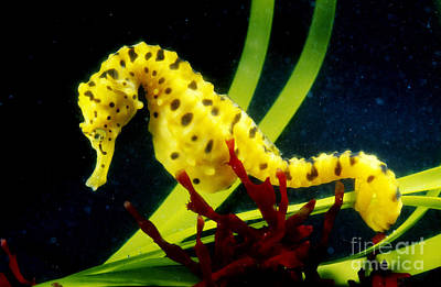 Seahorse Photograph - Potbellied Seahorse From Australia by Gregory G. Dimijian, M.D.