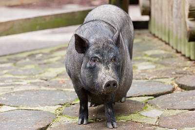 Potbelly Pig Standing Print by Pati Photography