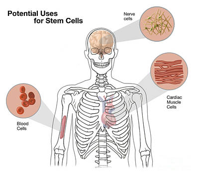 Potential Uses For Stem Cells Art Print by Spencer Sutton