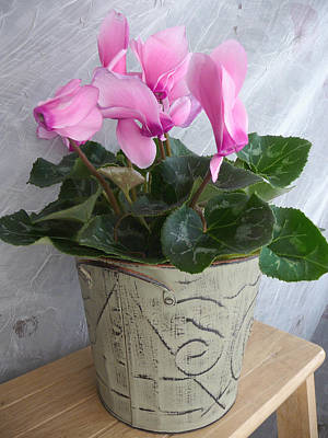 Photograph - Potted Cyclamen II by Margie Avellino