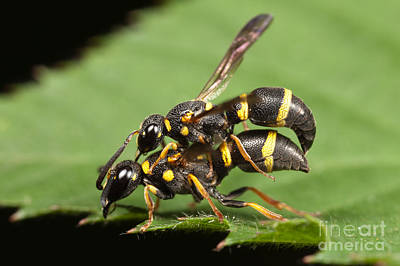 Photograph - Potter Wasps Mating by Clarence Holmes
