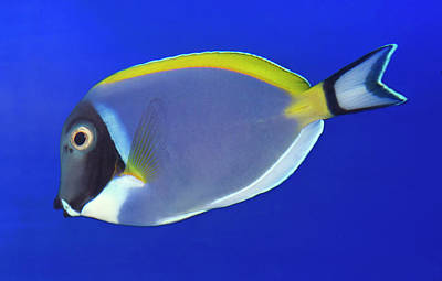Powder Blue Tang Or Powder Blue Surgeon Art Print by Nigel Downer