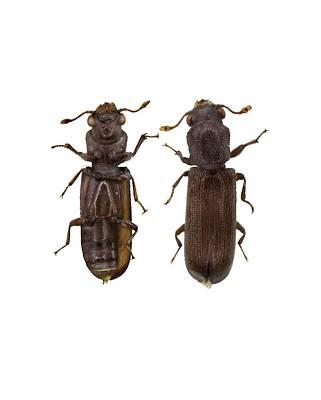 Arthropoda Photograph - Powder Post Beetle by F. Martinez Clavel