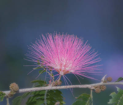 Mimosa Flowers Photograph - Powder Puff Blossom by Kim Hojnacki